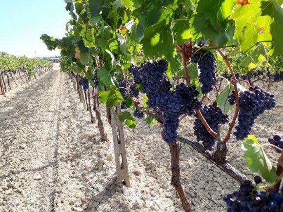 Wine Tasting Franco Pacenti Canalicchio Montalcino ( Tuscany )